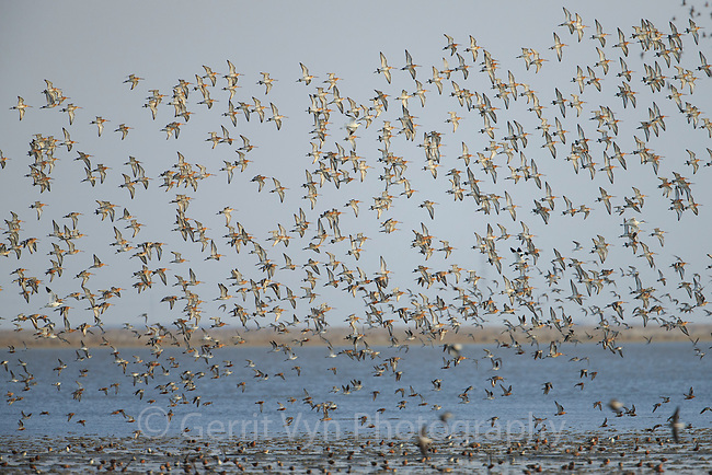 Flock of migratory Black-tailed Godwits (Limosa limosa). Bohai Bay, China. May.