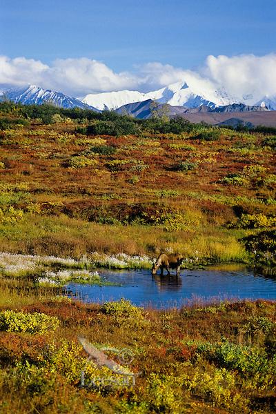 Cow moose with Alaska Range in background.  Denali National Park, Alaska