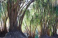 Beaucarnea recurvata: ponytail palm, bottle palm, nolina, elephant-foot tree. Family: Agavaceae (agave Family); Desert Garden at Huntington Botanic Garden San Marino, California