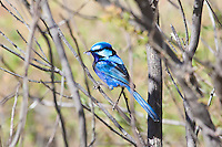 Australian Fairy-Wrens, Finches, Thornbills & Other Small Passerines