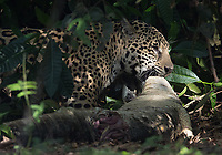 This female jaguar pulled this caiman carcass out of the brush. It's hard to say if the caiman was its victim or if the cat stumbled upon the carcass.