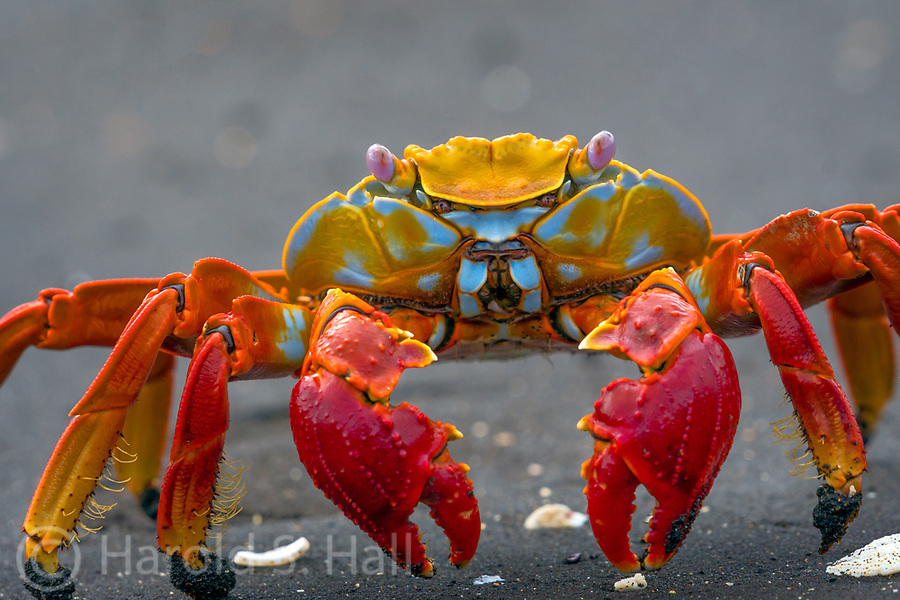 Sally Lightfoot crabs are brightly-colored coastal scavengers, found in the Galapagos Islands.  They are named after a Caribbean dancer, due to their agility to jump from rock to rock and their ability to run in four directions.