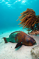 Rainbow parrotfish, scarus guacamaia, grows to 5.5 ft, resting on the sandy bottom