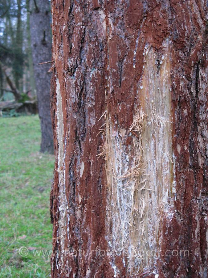 Verbiss-Schäden, Verbiss, Verbiss-Schaden an Rinde von Kiefer durch Hirsche Damwild, Schälung