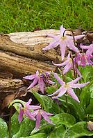 Erythrina revoluta in pink spring bloom