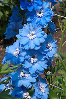 Delphinium Langdon's Pandora blue flowers with white eye