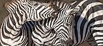 Kenya, Maasai Mara National Reserve, plains zebras (Equus quagga)