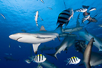 Shark feeding in Yap, Micronesia. Mostly Gray Reef sharks, Carcharhinus amblyrhynchos.