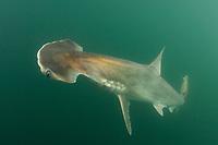 Scoophead Shark, Sphyrna media, a small species of hammerhead shark confined to the coastal waters of Central America. Released Specimen. Isla Chepillo, Rio Bayano, Panama.