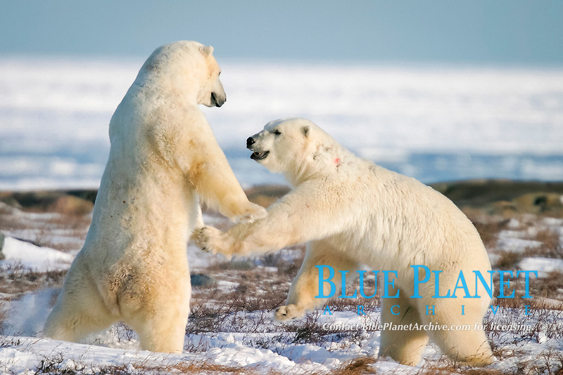 Adult male Polar Bears, Ursus maritimus, in ritualistic fighting (this almost never leads to serious injury) near Churchill, northern Manitoba, Hudson Bay, Canada, polar bear, Ursus maritimus