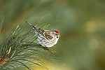 Common redpoll perched in a pine tree in northern Wisconsin.