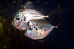 Atlantic Moonfish swimming left 2 shot