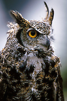 Portrait of a Great Horned owl. Alaska.