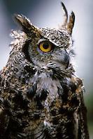 Portrait of a Great Horned owl. Alaska.