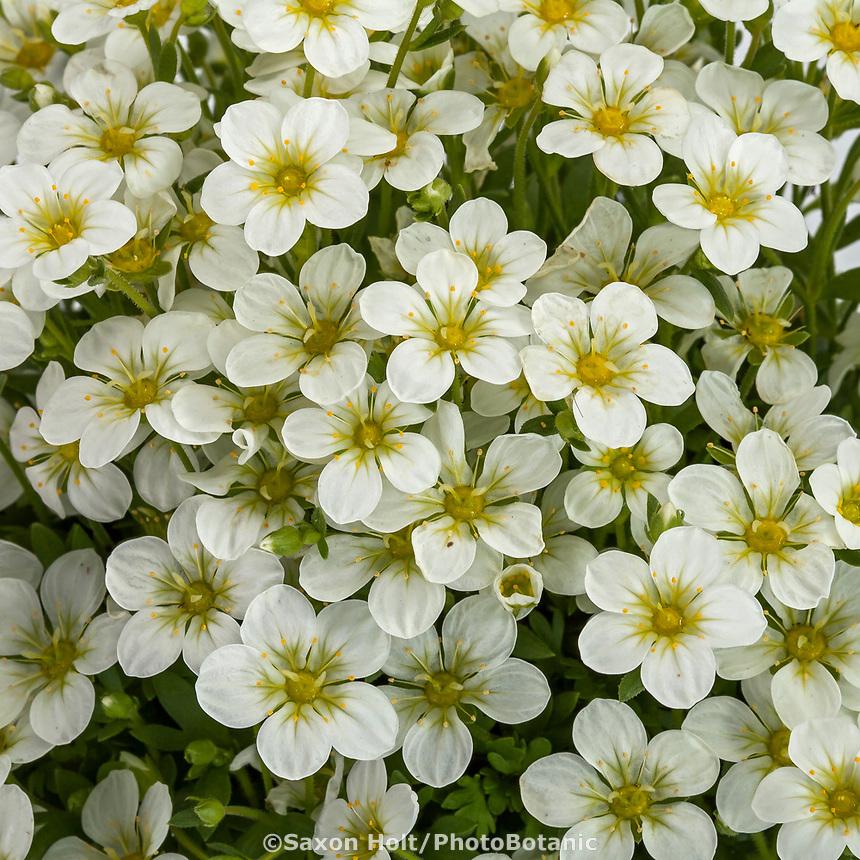 Creeping saxifrage -TOURAN LARGE WHITE Saxifraga x arendsii; Syngenta Flowers. Note Photoshop corrected highlights to enhance whites.