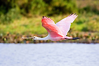 roseate spoonbill, Platalea ajaja, adult in flight over swamp, Los Llanos,  Venezuela, South America