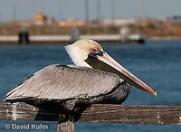 0307-0843  Brown Pelican, Pelecanus occidentalis © David Kuhn/Dwight Kuhn Photography.