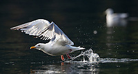 Numerous gulls can be found hanging out in the inlets and waterways of the Great Bear Rainforest.