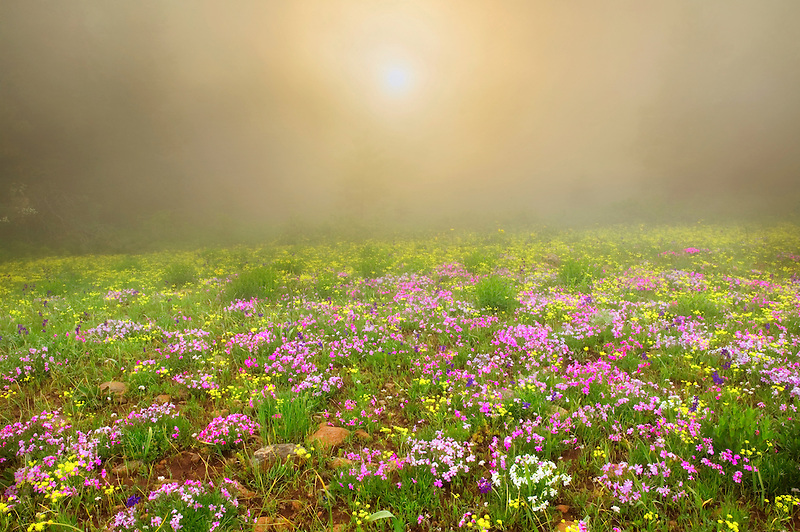 Mostly Phlox with other wildflowers in fog. Hells Canyon National Scenic Area. Oregon