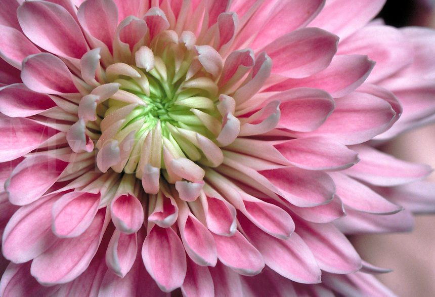 A close-up view of a lavender Cremone Chrysanthemum.