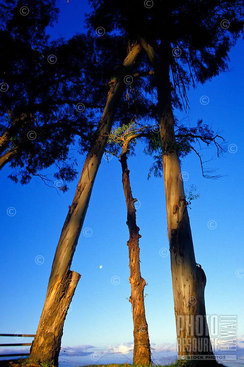 Tall upcountry trees frame the full moon in the early morning.