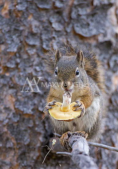 This red squirrel was a very cooperative subject, even picking and eating mushrooms at one point.