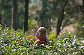 Dharamsala, Himachal Pradesh, India. Tea picker.