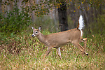 An alarmed buck fawn in a northern Wisconsin field.