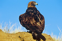 Golden Eagle (Aquila chrysaetos), Western U.S.