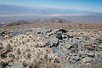 Grizzly bear cactus, Opuntia erinacea erinacea, and view of Panamint Valley from Bennett Peak in the Panamint Range.