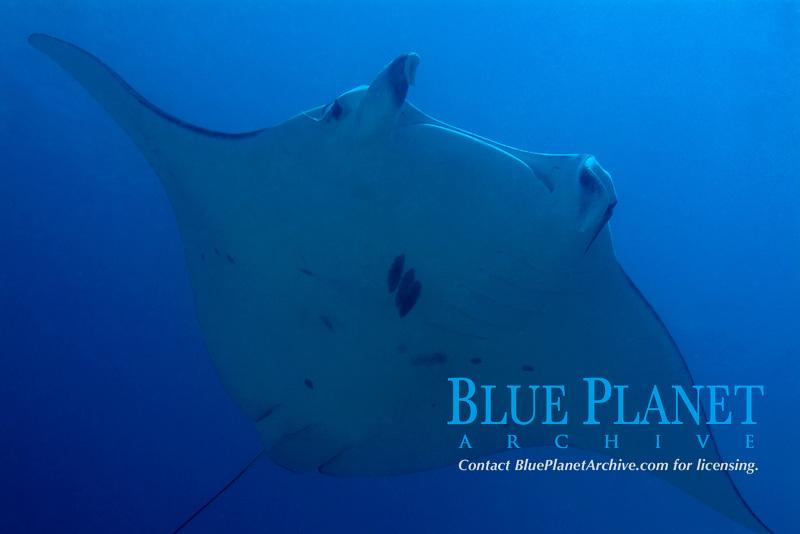 reef manta ray, Mobula alfredi, swimming in Raja Ampat, Raja Ampat, Papua, Indonesia, Pacific Ocean