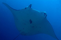 reef manta ray, Mobula alfredi, swimming in Raja Ampat, Raja Ampat, Papua, Indonesia, Pacific Ocean