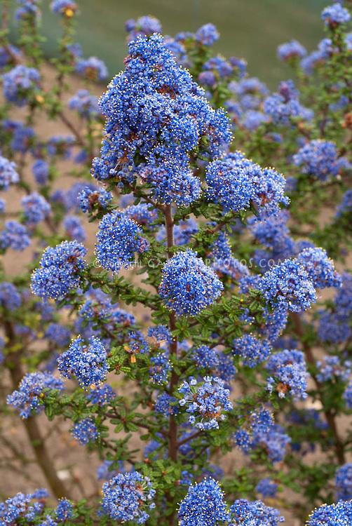 Ceanothus 'Dark Star' in blue flowers