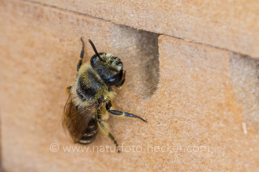 Seidenbiene, Gemeine Seidenbiene, Buckel-Seidenbiene, Buckelseidenbiene, Weibchen, am Loch in einer Insekten-Nisthilfe, Colletes daviesanus, Davies' Colletes, plasterer bee, la collète commune, female, Seidenbienen, plasterer bees