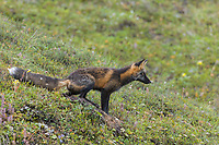 Cross fox (red fox), Denali National Park, Alaska