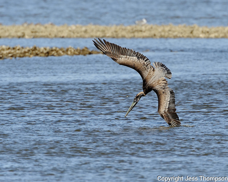 Brown Pelican dives for fish, Goose Island State Park, Texas
