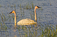 Trumpeter Swan (Cygnus buccinator) male (cob) and female (pen) monogamous breeding pair feed in freshwater marsh along the Lake Erie shoreline in early May in Ottawa National Wildlife Refuge, Ohio, USA.  North America's interior population of Trumpeters were virtually extirpated  by hunting and habitat destruction, but thanks to a reintroduction program in 1996 by Ohio and other central states - and to their designation as endangered in states such as Ohio - Trumpeter Swans may now be seen  thriving again in their traditional midwestern breeding grounds.