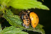 Siebenpunkt-Marienkäfer, Siebenpunkt - Marienkäfer, Imago, Käfer schlüpft aus der Puppe, Verwandlung, Metamorphose, Entwicklung, 7-Punkt, Coccinella septempunctata, seven-spot ladybird, sevenspot ladybird, 7-spot ladybird