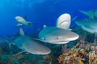 Caribbean reef shark, Carcharhinus pereziii, The Bahamas, Atlantic Ocean