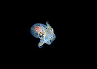 a baby octopus, Octopus sp., paralarva, drifting in the open ocean at night during blackwater drift dive, photographed at 30 feet with the bottom more than 600 feet below, Palm Beach, Florida, USA, Atlantic Ocean