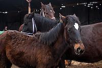 RUMAENIEN, 02.2013, Galbinas. Pferde auf dem kleinen Zucht-Gestuet von Alin und Florin Dinu.   Alin and Florin Dinu run a small business growing horses. © Bogdan Croitoru/EST&OST