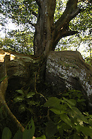 A Higueron Tree in the Rain Forest of Costa Rica.
