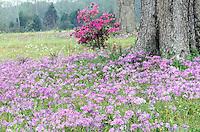 Misty day in a meadow of wildflowers - spring in Louisiana. wild phlox divaricata, azalea, and oak in the wet mist