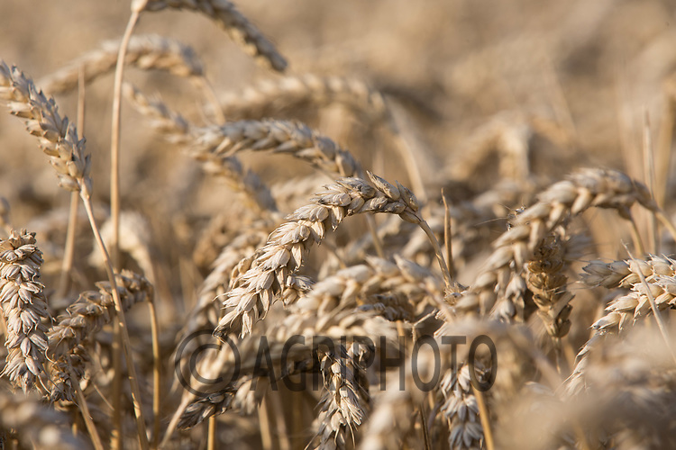 Winter Wheat ready for harvest<br /> Picture Tim Scrivener 07850 303986<br /> ….covering agriculture in the UK….
