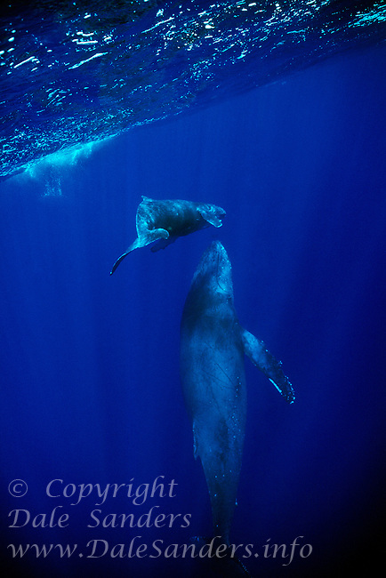 A Humpback Whale calf( Megaptera novaeangliae) swims above the head of its protective mother beneath the waters of the North Pacific Ocean.