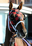 09 September 20: Jungle Wave prior to the grade 1 Woodbine Mile Stakes for three year olds and upward at Woodbine Racetrack in Rexdale, Ontario.