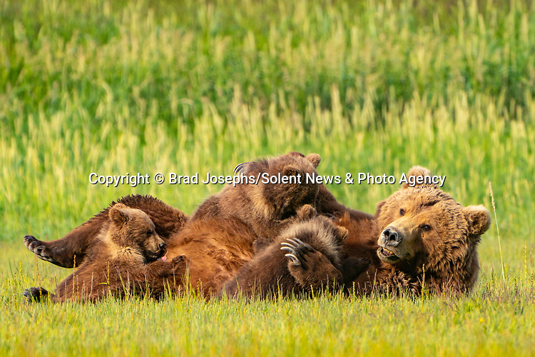 Pictured:  The cubs climbing on mum.<br /> <br /> A mother bear smiles at the camera as she poses with her cubs for a family portrait.  The mum appeared to have gathered her three young in for a tightly knit picture, before smiling for the lens.<br /> <br /> In reality, she was panting in the heat of a sunny afternoon and there were at least another ten bears around them so the mother was keeping them close for protection.  The young cubs also clambered over her and used their mother as a pillow as they rested on a grassy plain near the coast in Katmai National Park, Alaska, USA.  SEE OUR COPY FOR DETAILS.<br /> <br /> Please byline: Brad Josephs/Solent News<br /> <br /> © Brad Josephs/Solent News & Photo Agency<br /> UK +44 (0) 2380 458800