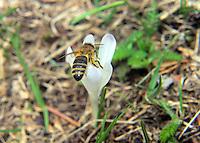 immagini di apicoltura, api, sciami, smielatura, nettare, polline, varroa,foto apicoltore, foto alveare, foto apiario,Beekeeping images, bees, swarms, honey extraction, nectar, pollen, mite, photo beekeeper picture beehive, apiary photos,Bienenzucht Bilder, Bienenschwärme, Honiggewinnung, Nektar, Pollen, Milben, Foto Imker Bild Bienenstock, Bienenhaus Fotos,養蜂画像、蜂、群れ、蜂蜜抽出、蜜、花粉、ダニ、写真の養蜂家画像蜂の巣、養蜂場の写真,Пчеловодство изображений, пчел, рои, добыча меда, нектара, пыльцы, клещей, фото пчеловод картинки улей, пасеки фото,Birøkt bilder, bier, svermer, honning utvinning, nektar, pollen, midd, foto birøkter bilde bikube, apiary bilder,Biodling bilder, bin, svärmar, honung utvinning, nektar, pollen, kvalster, foto biodlaren bild bikupa, bigården bilder,Imkerij afbeeldingen, bijen, zwermen, honing te winnen, nectar, pollen, mijt, foto imker beeld bijenkorf, bijenstal foto's