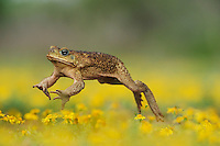 Cane Toad, Marine Toad, Giant Toad (Bufo marinus), adult jumping in Dogweed (Dyssodia pentachaeta) field,  Laredo, Webb County, South Texas, USA