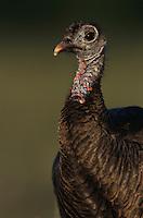 Wild Turkey, Meleagris gallopavo, female, Lake Corpus Christi, Texas, USA, April 2003